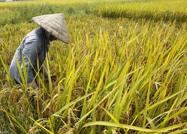 MYANMAR BENEFITS FROM THAI RICE SUBSIDY AS THAI TRADERS INCREASE RICE TRADE